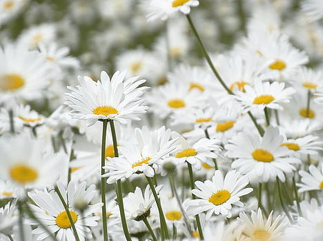 A Sea of Daisies by Mary Vinagro