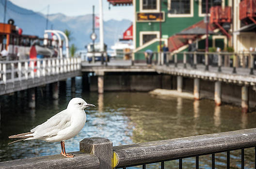 A Seagull at the pier in Queenstowns Harbour by Daniela Constantinescu