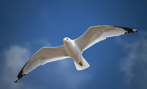 A seagull flying in the blue sky by William Freebilly photography