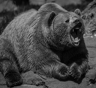 A Slightly Upset Grizzly Bear by Jason Moynihan
