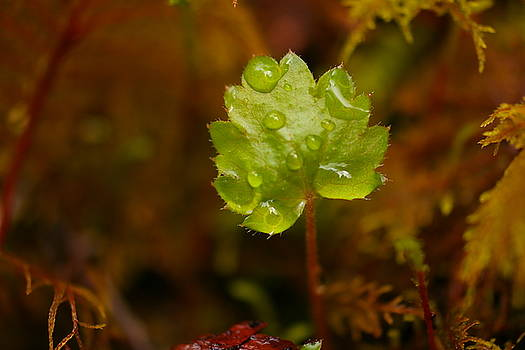 A Small Burgionng With Waterdrops by Jeff Swan
