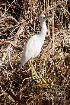 Bob Phillips - A Snowy White Egret