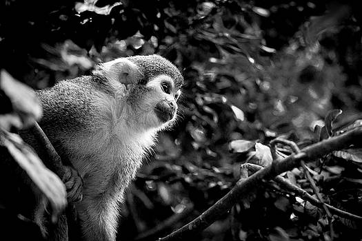 A Squirrel Monkey Keeping Watch by Harald Ole Hansen