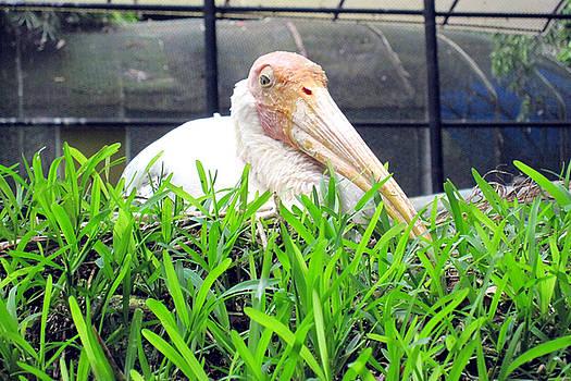 A Stork  by Siddarth Rai
