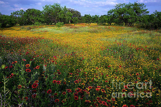 Herronstock Prints - A stunning field color explosion of wildflowers yellow daisy and