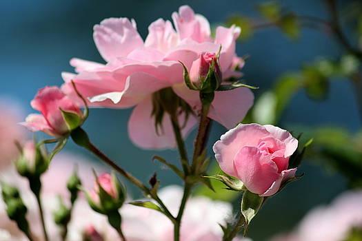 Rosanne Jordan - A Summer Dance of Rosebuds