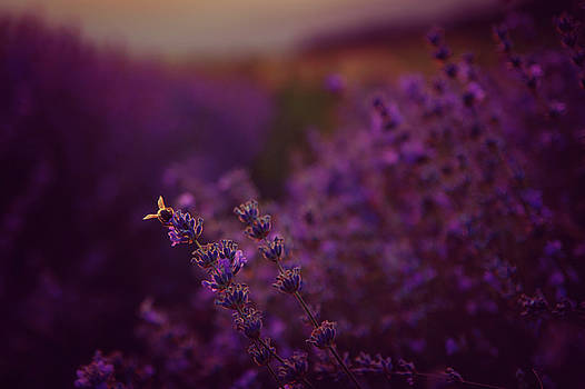 A Tale Of Bee, Lavender And Sunset by Plamen Petkov
