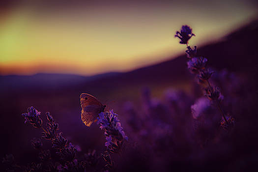 A tale of butterfly, lavender and sunset by Plamen Petkov