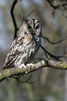 A Tawny Owl  by Andy Myatt