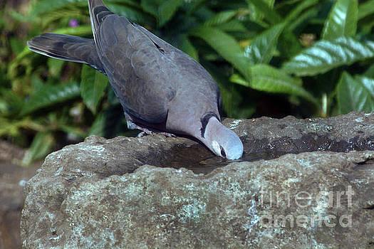 A Thirsty Dove by Morris Keyonzo