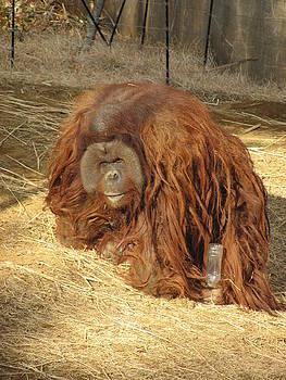 A thirsty Orangutan  by Christina Shields