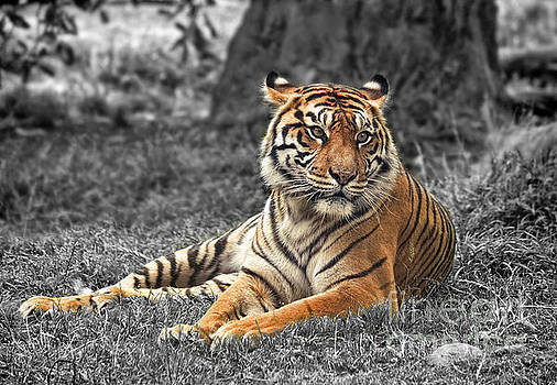 A Tiger Relaxing on a Cool Afternoon II by Jim Fitzpatrick