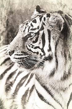 A Tigers Sketch 2 by Clare Bevan
