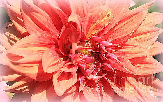 A Touch of Gold on Coral Dahlia by Dora Sofia Caputo Photographic Design and Fine Art