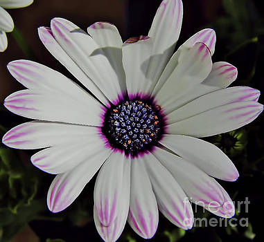 A Touch Of Pink On The Petals by D Hackett