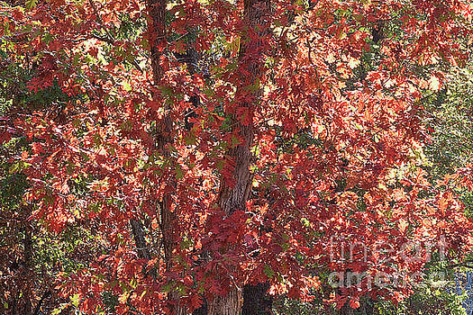 A Tree Full of Fall Leaves by Sherry Hallemeier