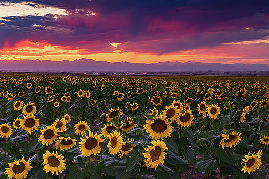 John De Bord - A Vivid Colorado Sunflower Sunset