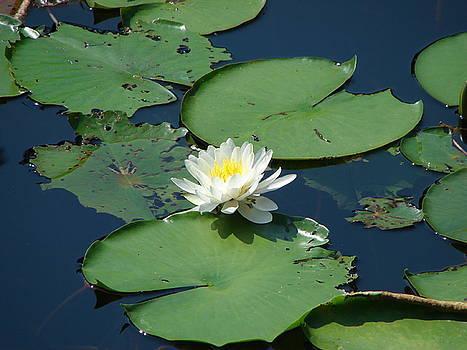 A Water Lily Bloom by Shiana Canatella