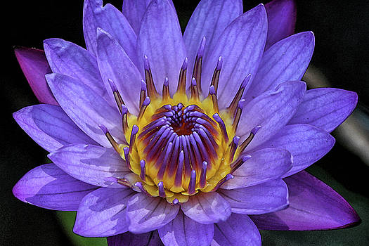 A Water Lily by Sandeep Gangadharan