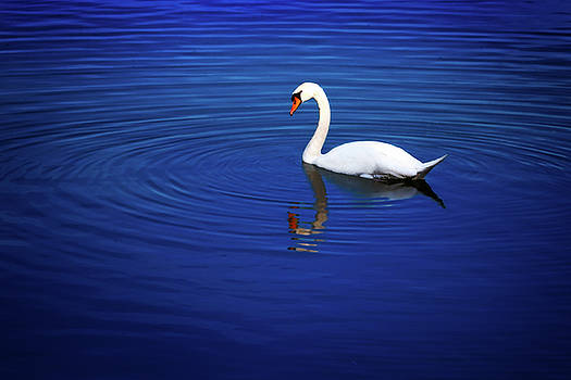 A white swan in the lake by Tim Abeln