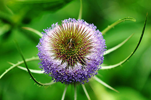 Debbie Oppermann - A Wild And Prickly Teasel