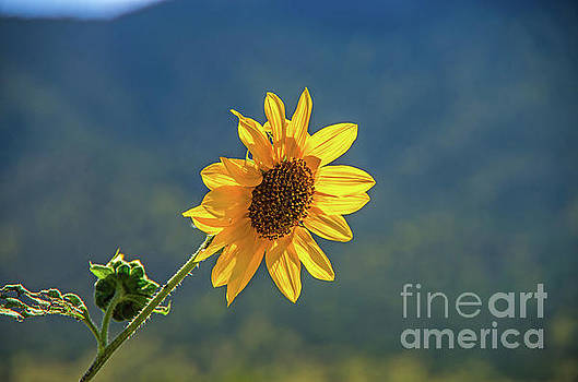 A Wild Sunflower by Stephen Whalen