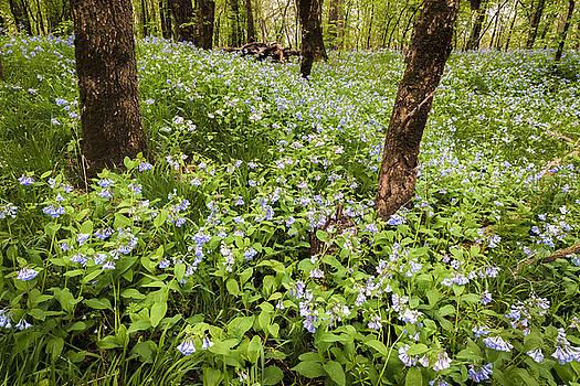 Scott Bean - A Woodland Carpet of Blue