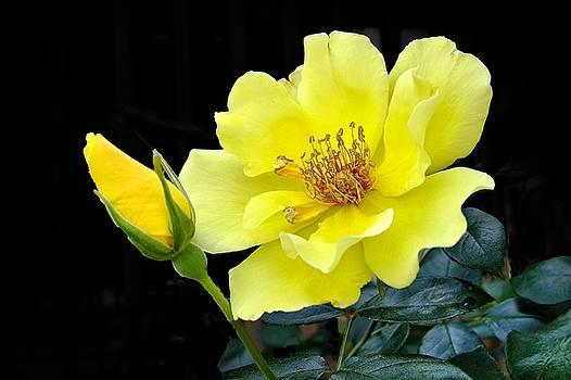 A Yellow Beauty by Rick Davis