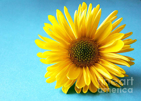 A yellow Chrysanthemum  by Joe Cashin