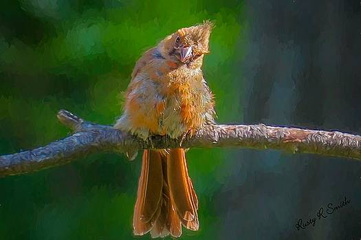 A young Cardinal perching on a branch. by Rusty R Smith