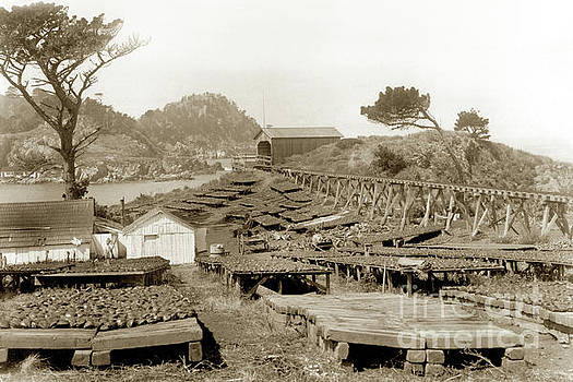 California Views Mr Pat Hathaway Archives - Abalone drying racks on Coal Chute Point Sept 19, 1905