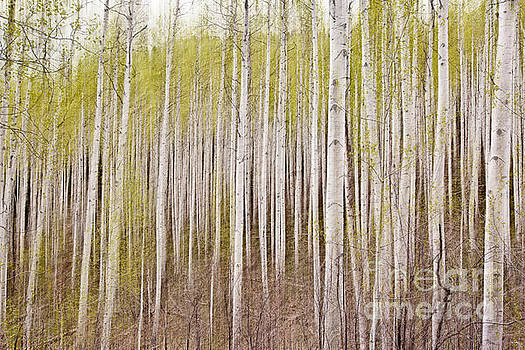 Scott Pellegrin - Abstract Aspens