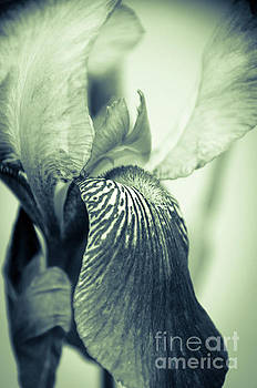 Abstract Japanese Iris Delight Nature Photo by Melissa Fague