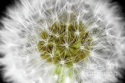 Abstract Nature Dandelion Floral Maro White and Yellow A1 by Ricardos Creations