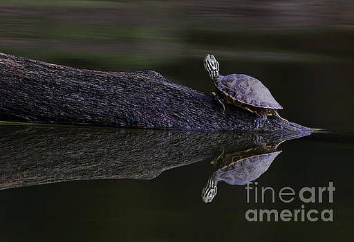 Abstract Turtle by Douglas Stucky
