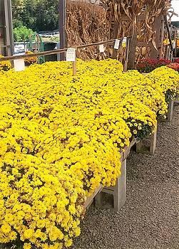 Abundance of yellow by Khalid Saeed