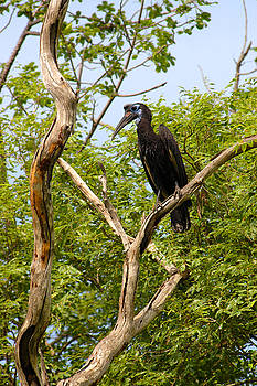Eduardo Huelin - Abyssinian ground or northern ground hornbill in Senegal