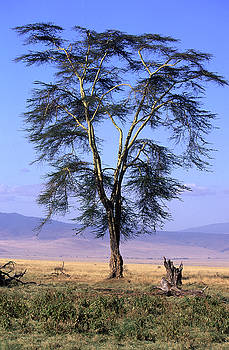 Acacia Africa by Roger Lever