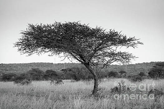 Tim Hester - Acacia Tree Africa Black And White