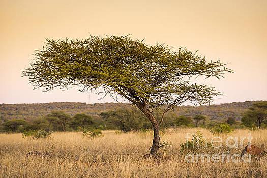 Tim Hester - Acacia Tree Africa