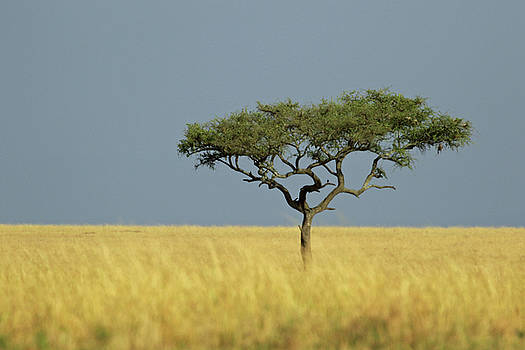 Acacia Tree by Ann Sullivan