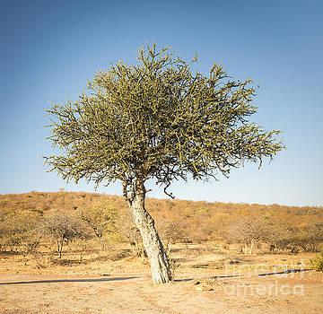 Tim Hester - Acacia Tree Botswana Africa