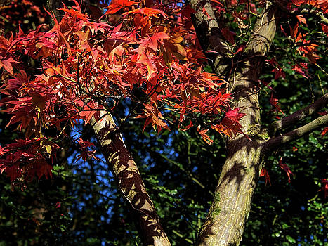 Acer Tree In Autumn Colours by Susie Peek