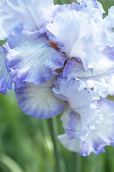 Acoma. The Beauty of Irises by Jenny Rainbow