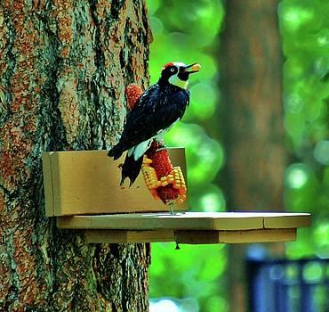 Acorn Woodpecker by Helen Carson