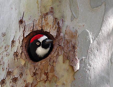 Acorn Woodpecker in Sycamore by Gary Michael Flanagan