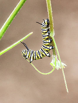Acrobatic Caterpillar by Ruth Jolly