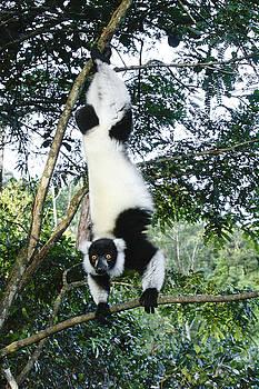 Michele Burgess - Acrobatic Lemur