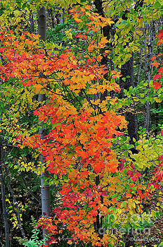 Adirondack Crimson by Diane E Berry