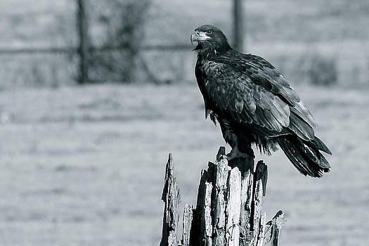 Adolescent Bald Eagle by Carolyn Wright